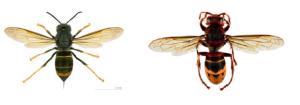 Vespa velutina (a sinistra) e Vespa crabro (a destra)